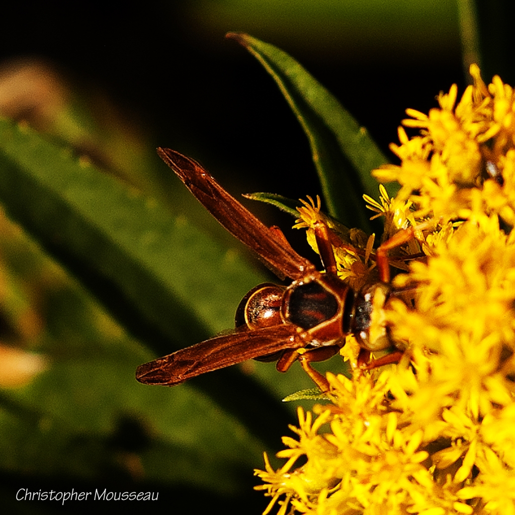 Wasp with head buried in Goldenrod flowers