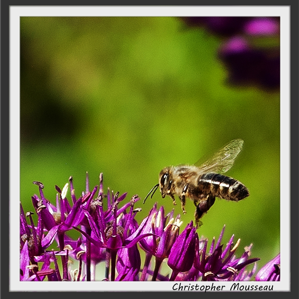 a close up shot of a honey bee approaching the purple flower of Allium Purple sensation