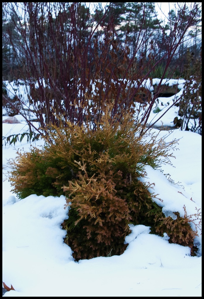 golden foliage of a low, mounding cedar, half buried in snow