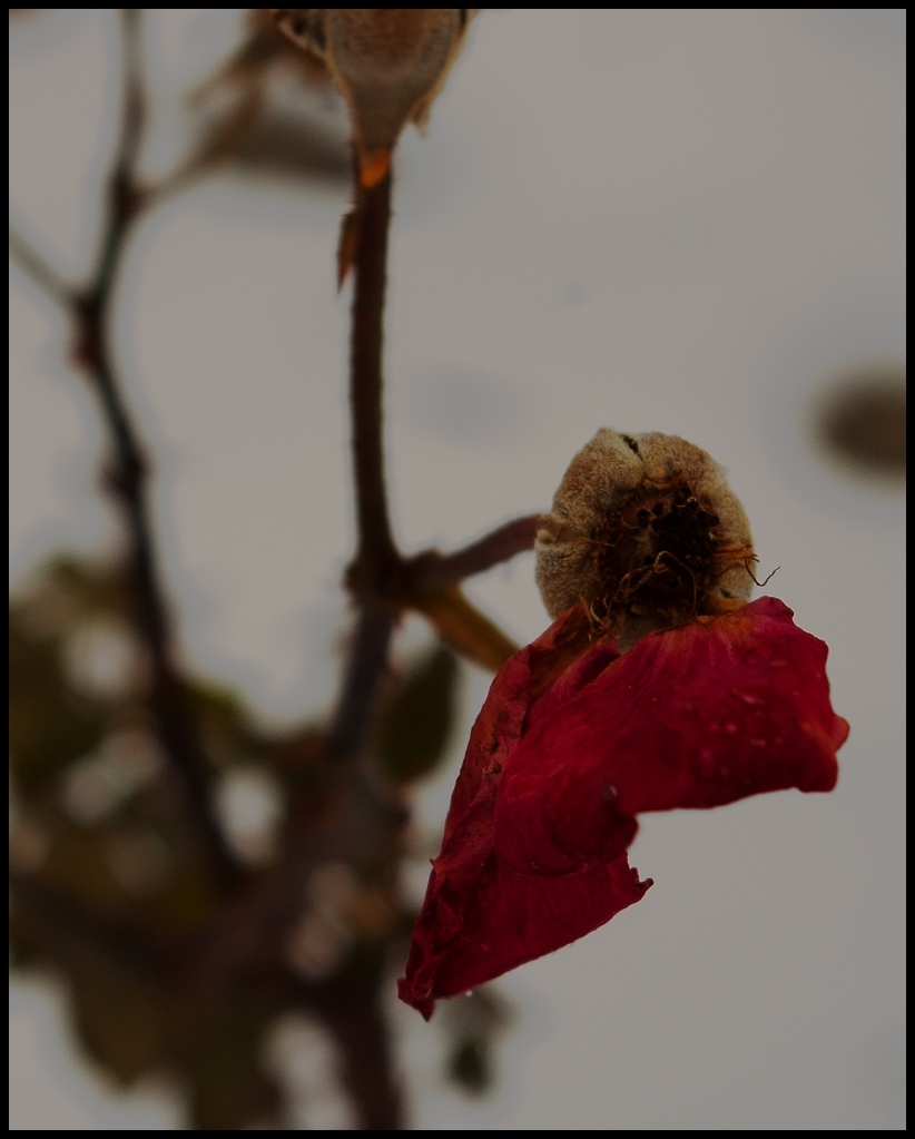 two red rose petals clinging to a bud;snow in background