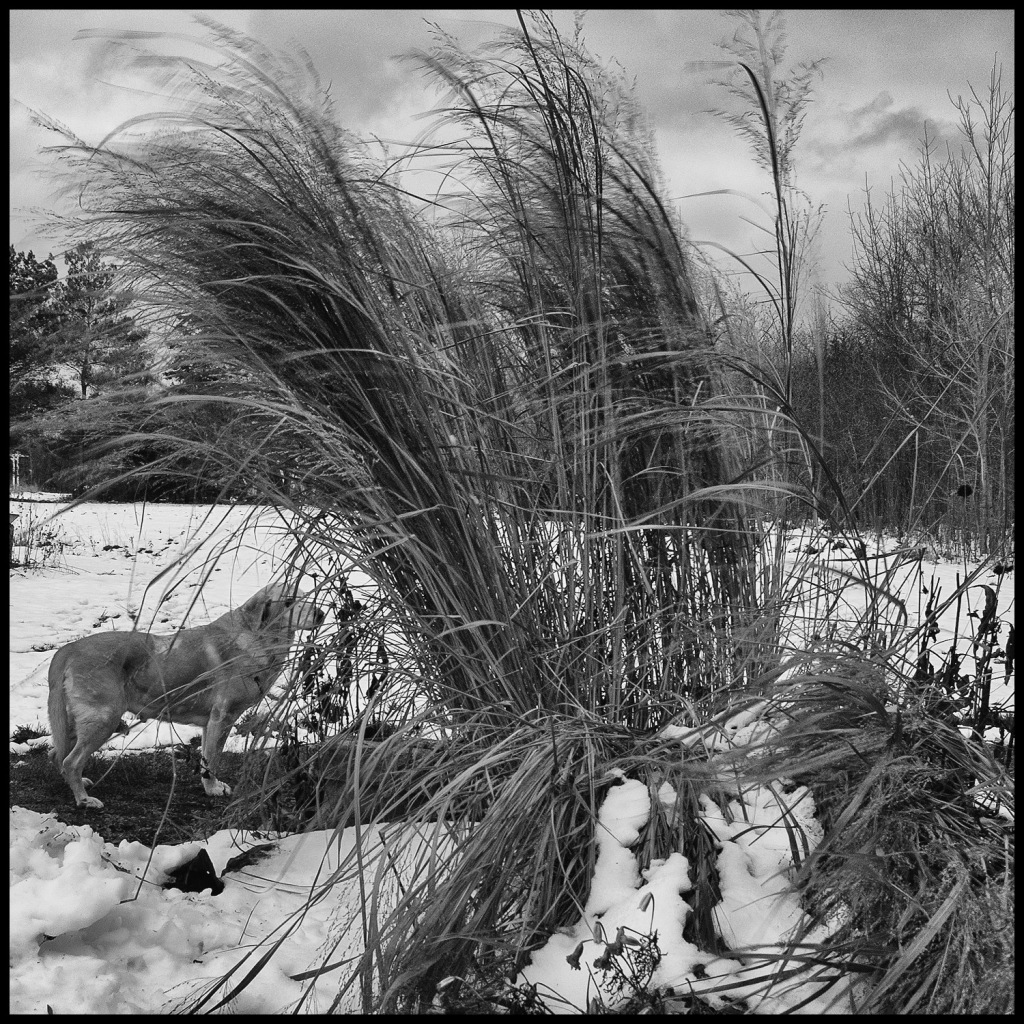black and white photo of yellow Labrador retriever standing beside stand of very tall ornamental grass, ha;f flattened by snow, blowing in the wind