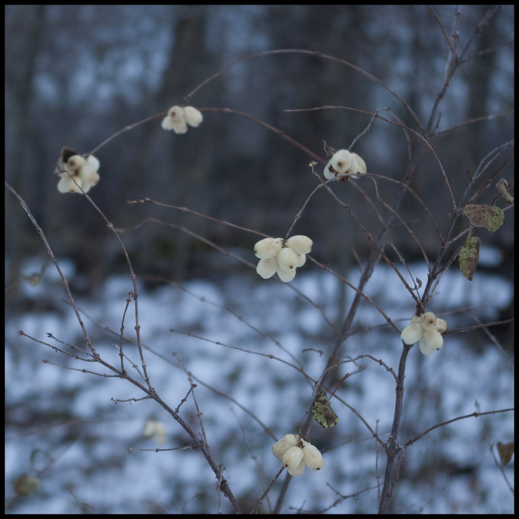 white berries on the deciduous shrub Snowberry