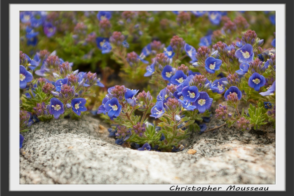 close-up shot of Veronica Whitley's Speedwell - a ground cover with dark green foliage covered in small  cobalt blue flowers