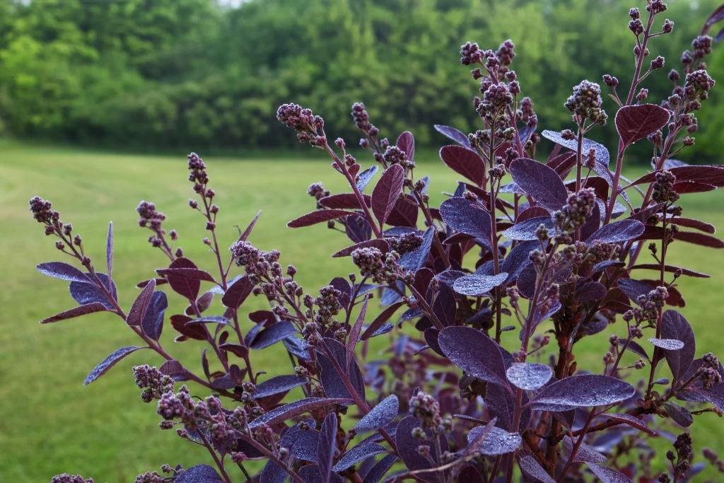 photo of Royal Purple Smoke Tree covered in flower buds