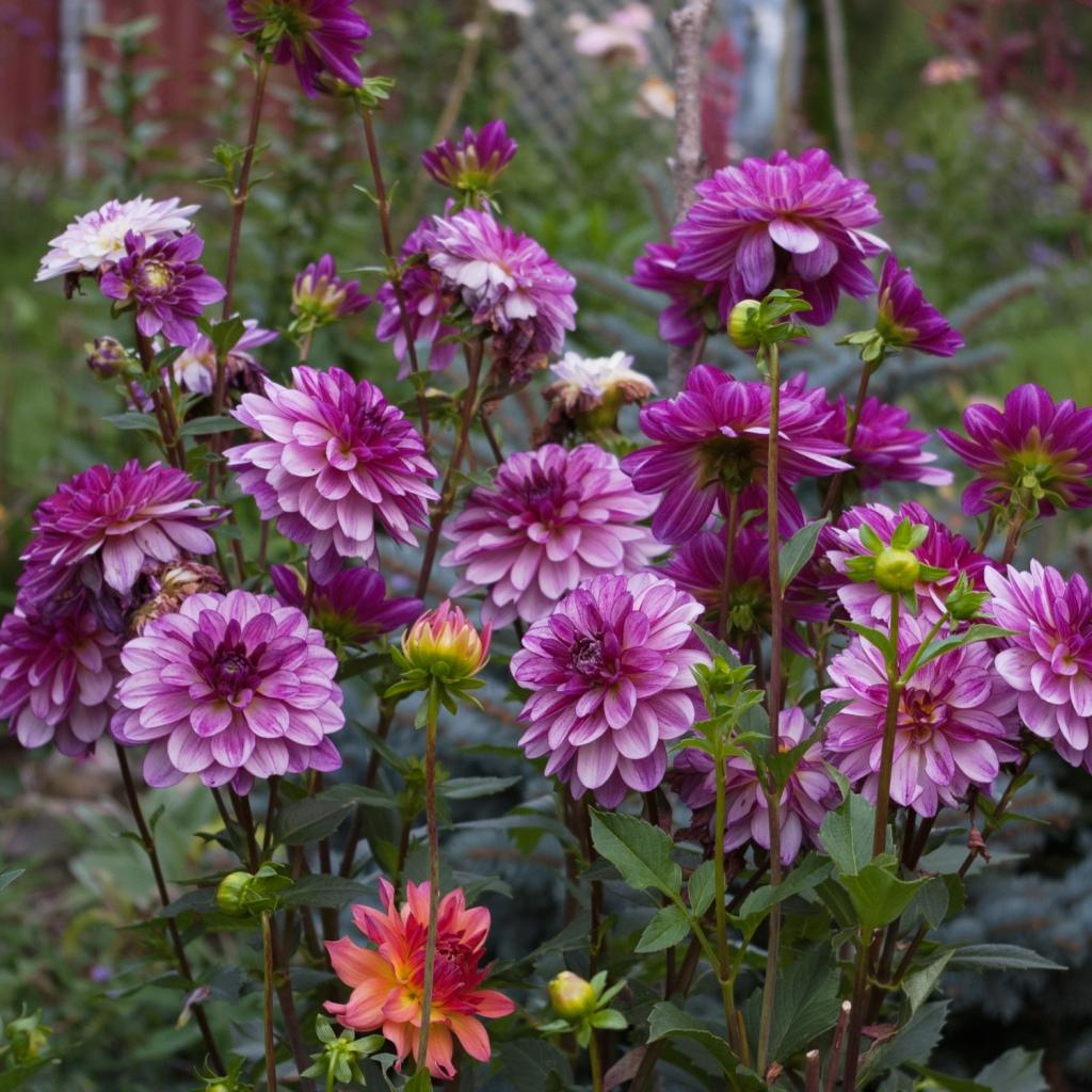 Dahlia 'Secudtion' growing in the garden
